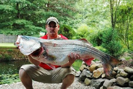 Click image for larger version.  Name:wr striiped bass4.jpg Views:1 Size:41.1 KB ID:13875