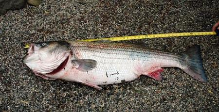Click image for larger version.  Name:wr striiped bass7.jpg Views:1 Size:39.7 KB ID:13878